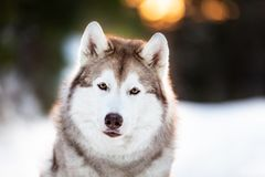 Cute, beautiful and happy siberian Husky dog sitting on the snow in winter fairy forest at golden sunset. Close-up portrait of cute, beautiful and happy siberian stock image