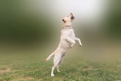 Cute and beautiful Labrador jumping high. Royalty Free Stock Images