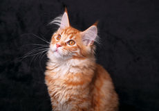 Cute beautiful red solid maine coon kitten sitting with beautifu Royalty Free Stock Photo