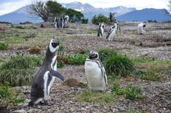 Cute, beautiful, screaming magellanic penguin in Isla Martillo near Ushuaia, Patagonia, Argentina Stock Photo