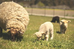 Cute beautiful sheep. soft-focused. Royalty Free Stock Images