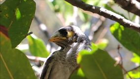 A Cute Beautiful young Noisy Miner bird on the tree in a sunshine day at Sydney, Australia.