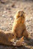 Cute beaver Royalty Free Stock Photos