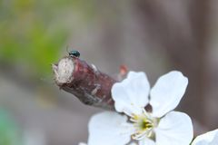 Cute beetle on cherry blossoms stock photos