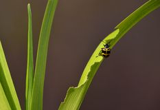 A cute beetle. This cute beetle is enjoying on a vimineous leaf Royalty Free Stock Image