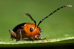 Cute Beetle face Royalty Free Stock Image