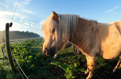 Cute beige pony on pasture in sunshine Royalty Free Stock Image