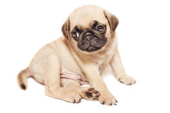 Cute beige pug puppy. On white Royalty Free Stock Photo