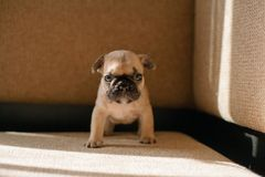 Cute beige puppy French bulldog royalty free stock image