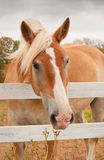 Cute Belgian Draft horse looking at the viewer Stock Photo