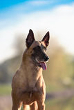 Cute Belgian Shepherd Dog. Portrait in summer Stock Photo