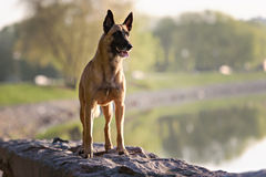 Cute Belgian Shepherd Dog. Portrait in summer Stock Image