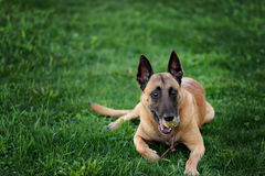 Cute Belgian Shepherd Dog, portrait in summer. Beautiful Malinois dog lying on green grass Royalty Free Stock Images