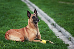 Cute Belgian Shepherd Dog, portrait in summer. Beautiful Malinois dog lying on green grass Royalty Free Stock Photo