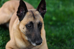 Cute Belgian Shepherd Dog, portrait in summer. Beautiful Malinois dog lying on green grass Stock Image
