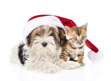 Cute Bengal cat and Biewer-Yorkshire terrier puppy with red sant Stock Photo