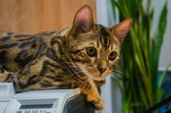 Cute bengal cat lying on the printer royalty free stock images
