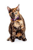 Cute Bengal Cat Mouth Open Royalty Free Stock Photo