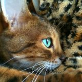 Cute Bengal cat portrait. A very cute portrait of a Bengal cat laying on a tiger print blanket Stock Images