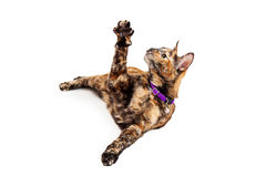 Cute Bengal Cat Raising Arm Royalty Free Stock Photo