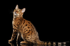Cute Bengal female Cat Sitting, Looking back,  Black Background Stock Photos