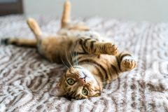 Cute bengal funny cat and seeing quietly. Cute bengal funny cat playing at home on bed stock photo