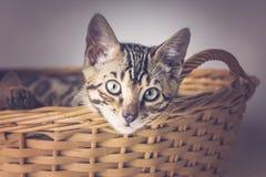 Cute bengal kitten stock photography
