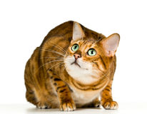 Cute Bengal kitten in crouch. Bengal cat in orange and brown crouching and ready to pounce at the viewer with space for advertizing and text Stock Photo
