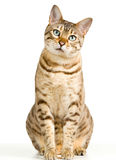 Cute Bengal kitten looks pensively at camera Royalty Free Stock Images