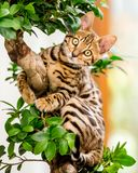 A cute Bengal kitten sitting in a bonsai tree. With its paws wrapped around looking at the camera royalty free stock photography
