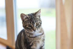 Cute bengal kitten sitting by window Royalty Free Stock Photo