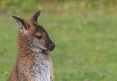 Cute Bennet Kangaroo on a meadow. Portrait of a cute Bennet Kangaroo on a green meadow Stock Images