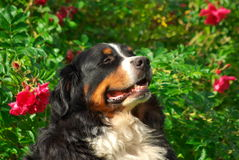 Cute Bernese Mountain Dog. Happy Bernese Mountain Dog posing with red roses on background Royalty Free Stock Photography