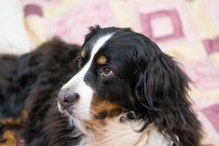 Cute Bernese Mountain dog lying on bed with pink covering background. Concept of laizy, comfort, sleep time, home, frienndship, royalty free stock photography