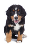 Cute bernese mountain dog puppy Stock Image