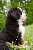 Cute Bernese Mountain puppy royalty free stock images