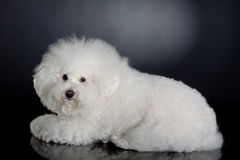 Cute bichon frise. Side view picture of a cute bichon frise, on a black background Royalty Free Stock Image