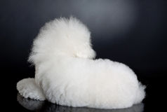 Cute bichon frise - back view Stock Photography