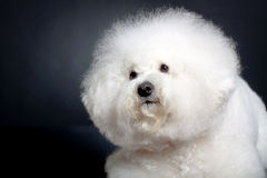 Cute bichon frise head Royalty Free Stock Photo