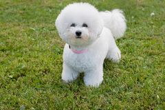 Cute bichon frise is looking at the camera. Pet animals. Purebred dog stock photos