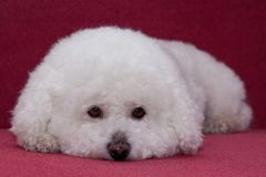 Cute bichon frise is lying on a vinous couch. Pet animals Royalty Free Stock Images