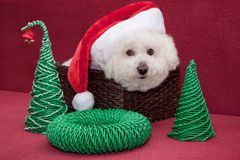 Cute bichon frise in santa claus hat is sitting in a wicker basket. Pet animals royalty free stock image