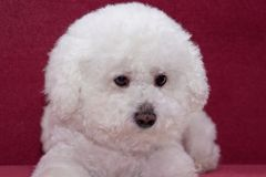 Cute bichon frise is sitting on a vinous couch. Pet animals Stock Image