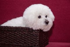 Cute bichon frise is sitting in a wicker basket. Stock Photo