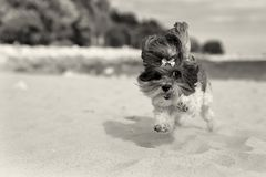 Cute Bichon Havanese dog running happilly on the beach. Sepia toned image, shallow depth of field, focus on the eye Stock Photography