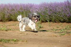 Cute Bichon Havanese dog running close to lavender field with its tongue hanging out on a bright summer day Royalty Free Stock Images