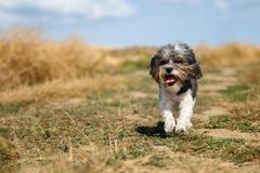 Cute Bichon Havanese dog with a summer haircut and its tongue hanging out running happily against mowed wheat field. Selective foc Royalty Free Stock Image