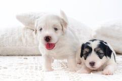 Cute bichon havanese puppies. Two cute bichon havanese puppies royalty free stock photography