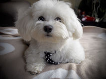 Cute bichon maltese. With mope tie Royalty Free Stock Photos