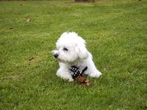 Cute bichon maltese with mope tie. Lying in the park Stock Images